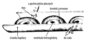 Ścianka kapilary, dotlenianie komórek, efekt Bohra